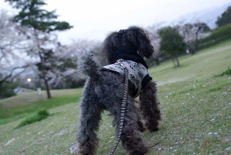 トイプードル 愛犬